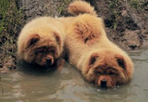 Уход за собакой Чау-Чау, содержание Фото Чау-Чау | Чаушёнок | www.Чау-Чау-Спб.рф