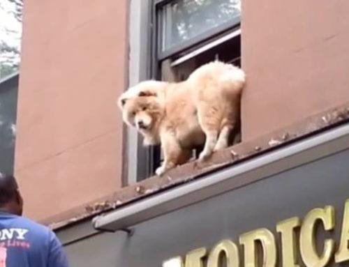В Бруклине пожарные сняли чау-чау с подоконника