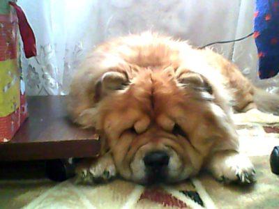 Всё о собаках породы Чау-Чау (CHOW-CHOW) Фото Чау-Чау | Чаушёнок | www.Чау-Чау-Спб.рф