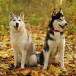 Популярные породы собак которых предпочитают заводить в городе Фото Чау-Чау | Чаушёнок | www.Чау-Чау-Спб.рф